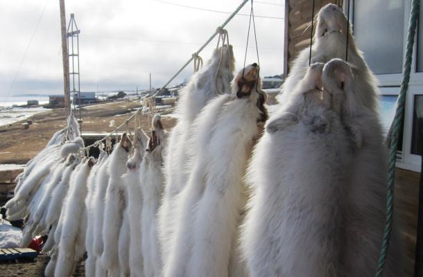 White fox pelts hanging in Sachs Harbour